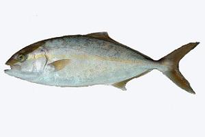 target-kanpachi